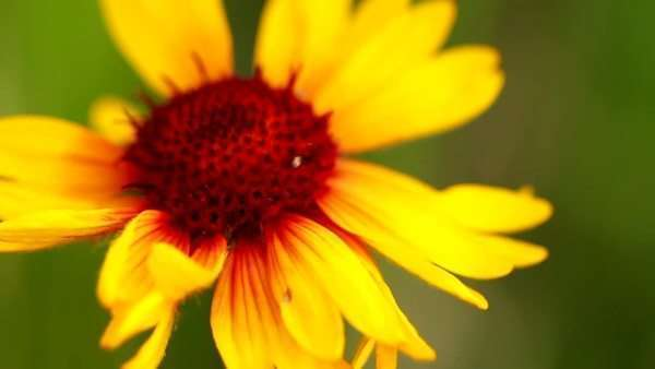 Extreme close up of yellow flower with red center and tiny insect extreme close up of yellow flower with red center and tiny insect crawling on it stock video footage dissolve mightylinksfo