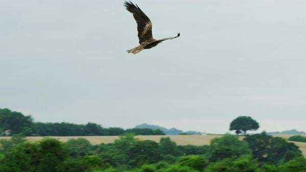Red kite birds of prey. Slow motion birds of prey gliding Royalty-free stock video