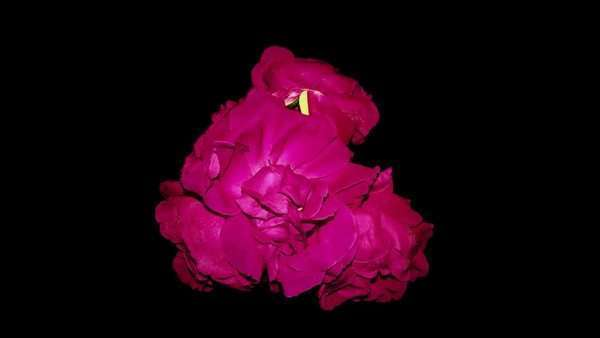 Sped-up of a bouquet of red roses against a black background that quickly withers and collapses. Royalty-free stock video