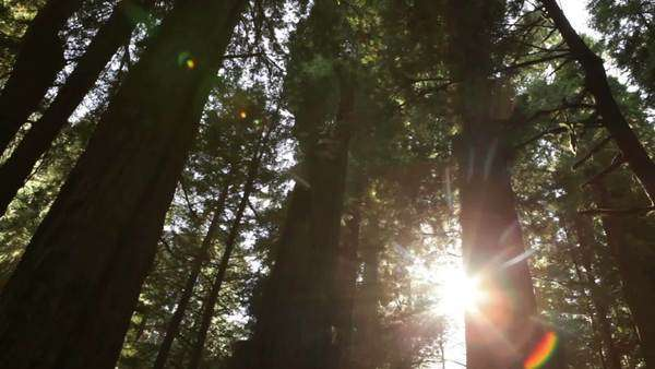 Low angle tracking shot through tall, dense redwood forest. Sharp contrast of bright sun and dark trees. California. Royalty-free stock video