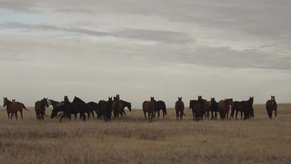 Long shot of horses walking and grazing on field Royalty-free stock video