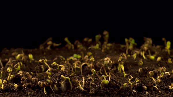Marijuana Plant Growing on a Black Background  Time Lapse  stock footage