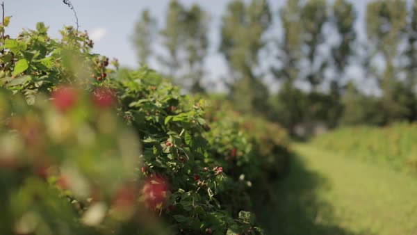 Rack focus of trees and raspberry plants on field Royalty-free stock video