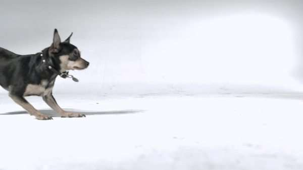 Slow motion shot of a Chihuahua running in a studio Royalty-free stock video