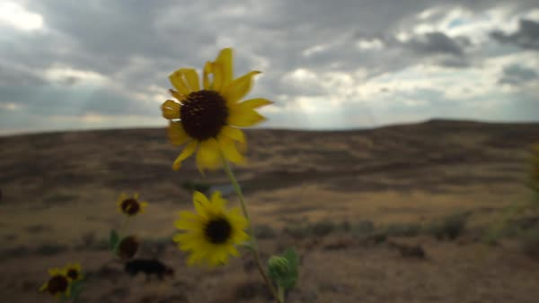 Medium shot of sunflowers blowing in the wind Royalty-free stock video