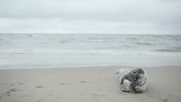 Medium wide shot of a seal lying on a sandy beach Royalty-free stock video