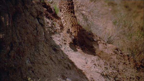 Slow motion of a leopard hunting in North Africa Rights-managed stock video