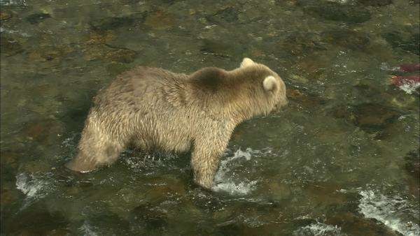 Tracking shot of a grizzly bear hunting in river Rights-managed stock video