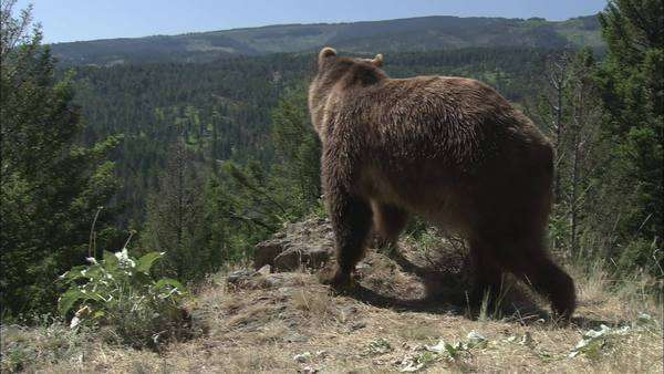 Tracking shot of a grizzly bear on a mountain Rights-managed stock video