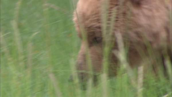 Tracking shot of a grizzly bear walking in a field Rights-managed stock video