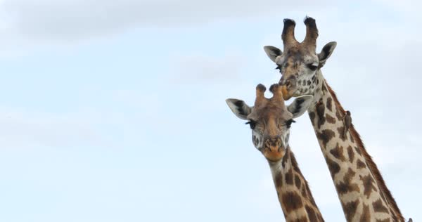 Medium close up shot of African giraffes Royalty-free stock video
