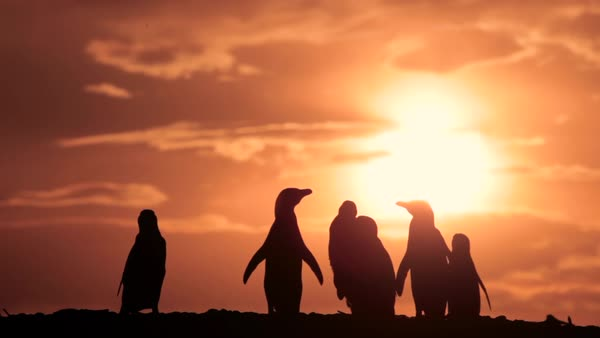 Penguins at sunset walking on the beach Royalty-free stock video