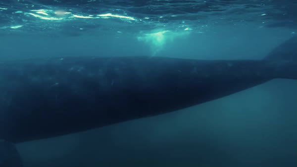 Right Whale swimming in Patagonian waters Royalty-free stock video