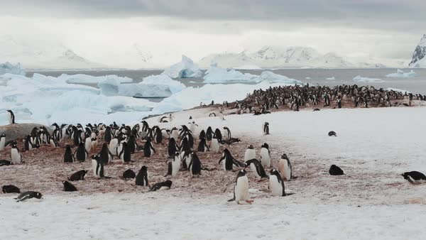 Timelapse of a penguin rookery at a waterfront Royalty-free stock video