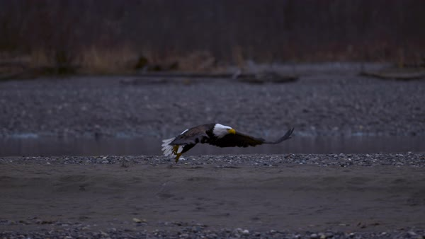 Slow motion shot of bald eagle taking off from river bank Rights-managed stock video