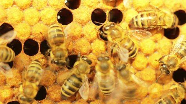 Close-up view of bees in honeycombs Royalty-free stock video