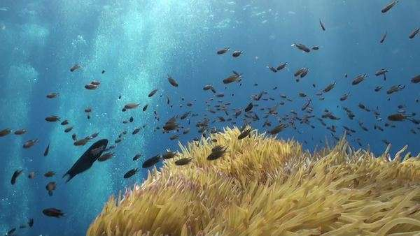 Shoaling Fish Above The Tentacles Of A Sea Anemone