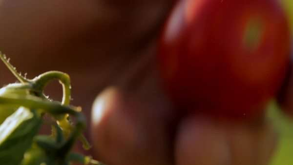 Extreme close-up of a tomato being picked Royalty-free stock video