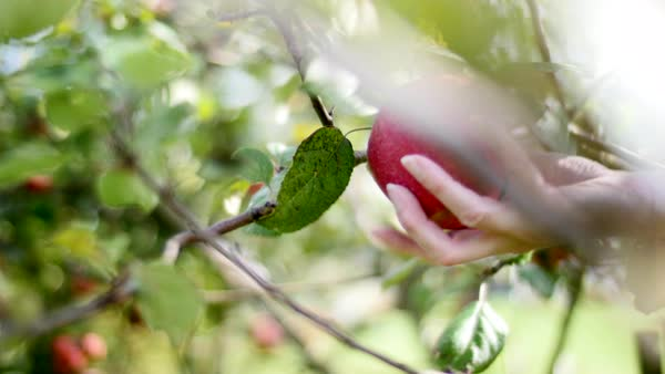 Dolly shot of a person picking an apple from a tree Royalty-free stock video