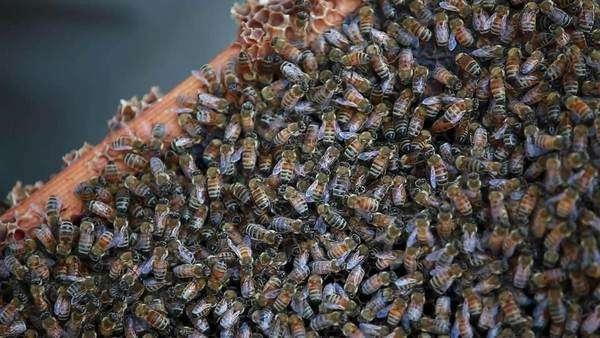 Close up shot of a frame swarming with bees Royalty-free stock video