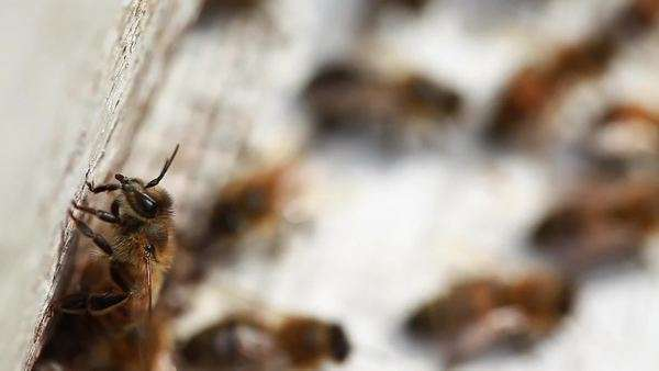 Close up shot of honey bees in a beehive Royalty-free stock video
