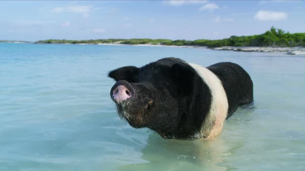Bahamas Pig beach view of wild pig enjoying a dip in the tropical Caribbean  sea a tourist attraction on Big Major Cay stock footage