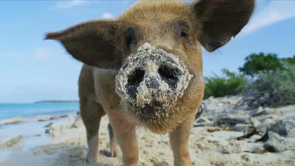 Commonwealth pig on Big Major Cay in the sunshine paddling on remote  tropical beach island a tourist attraction in the Bahamas Caribbean stock  footage