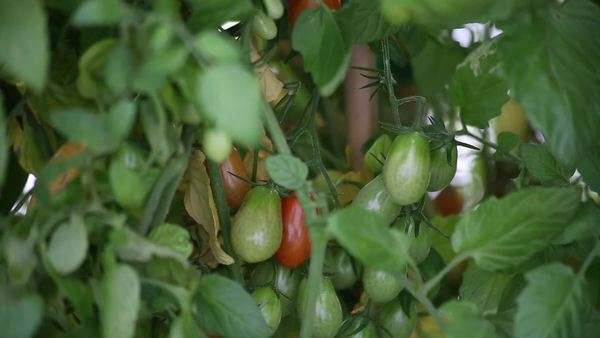 Handheld medium close-up shot of ripening tomatoes Royalty-free stock video