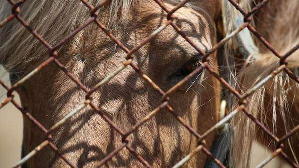 Handheld close-up shot of horses in a pen Royalty-free stock video