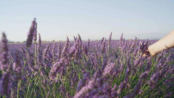 Close up hand touching lavender flowers in big purple field stock close up hand touching lavender flowers in big purple field stock video footage dissolve mightylinksfo