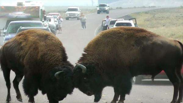 Buffalo fighting for dominance and rutting rights on the road at Yellowstone National Park Royalty-free stock video