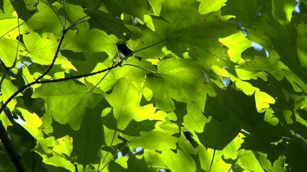 Bright Green Sugar Maple Acer Saccharum Leaves Moving Slowly In