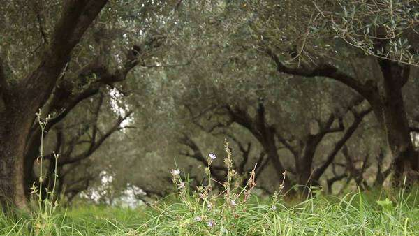 Slidecam in a olive tree field Royalty-free stock video