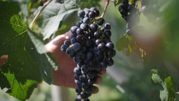 Slow motion of farmer's hand inspecting grapes Royalty-free stock video
