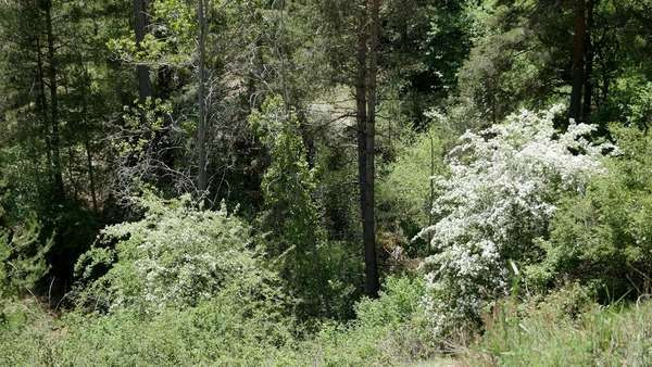Trees and shrubs bloom in the spring in the Sierra de Gudar. Royalty-free stock video