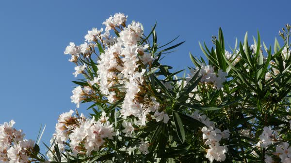 White Oleander Flowers Make A Pretty Picture Against A Blue Sky