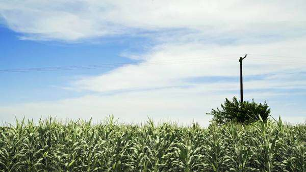 A Mexican cornfield under a blue sky Royalty-free stock video