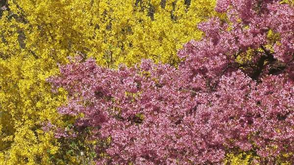 Prunus Okame Cherry Blossoms Pink With Forsythia Helios Yellow