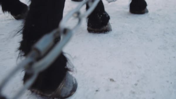 Close-up shot of horses walking in snow Royalty-free stock video