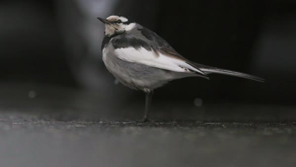 Full shot of a Japanese wagtail Royalty-free stock video