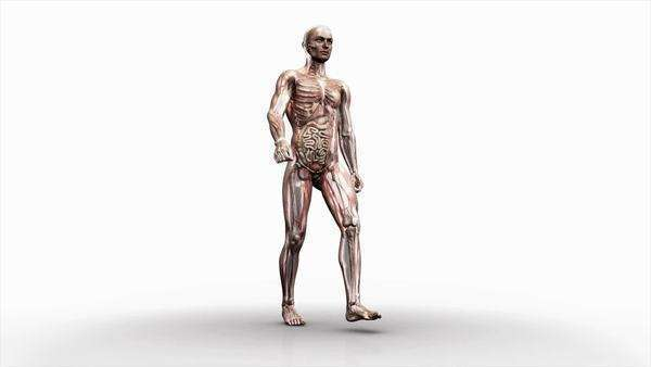 Computer animation of the male body walking showing internal organs and muscles. HD master is supplied with an image mask. Royalty-free stock video