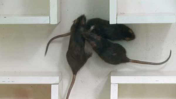 Laboratory rats exploring a maze. Such experiments are used in the study of learning and memory. Royalty-free stock video
