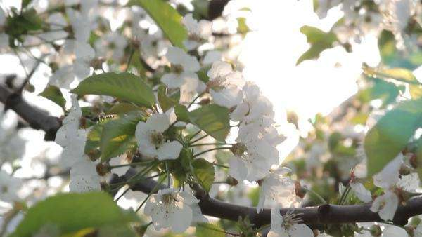 Cherry blossoms tree with back light sun shining Royalty-free stock video