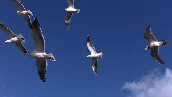Flock of seagulls fly overhead, slow motion Royalty-free stock video