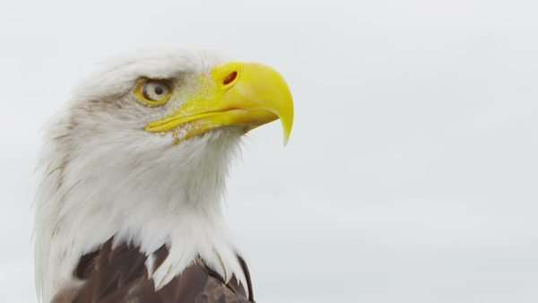 American Bald Eagle on white. Shot on RED Epic in SLow motion at 160 FPS Royalty-free stock video