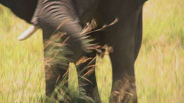 An elephant eats grass with his trunk on the African plains. Royalty-free stock video