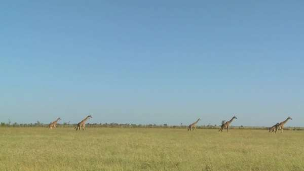 Giraffes walk in the distance across the African savannah. Royalty-free stock video
