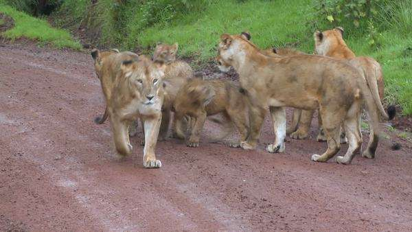 A brood of lions walks along a road in Africa. Royalty-free stock video