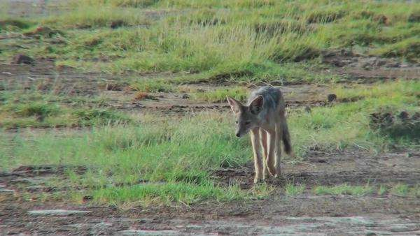 A jackal forages for food on the African plains. Royalty-free stock video
