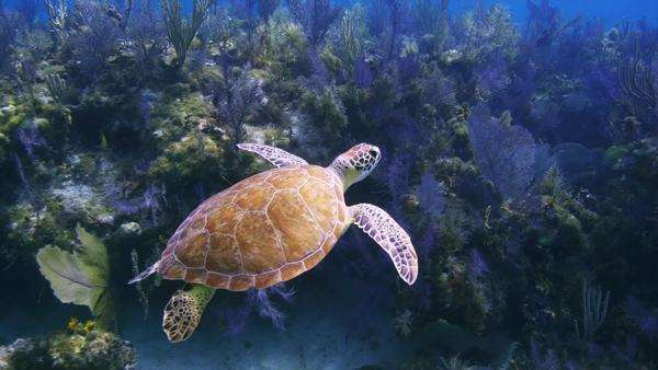 Turtle Swims by colorful corals,  swims up toward surface, Minnow Caves, Key Largo, Florida, Florida Keys. Royalty-free stock video